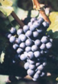 presning af druer